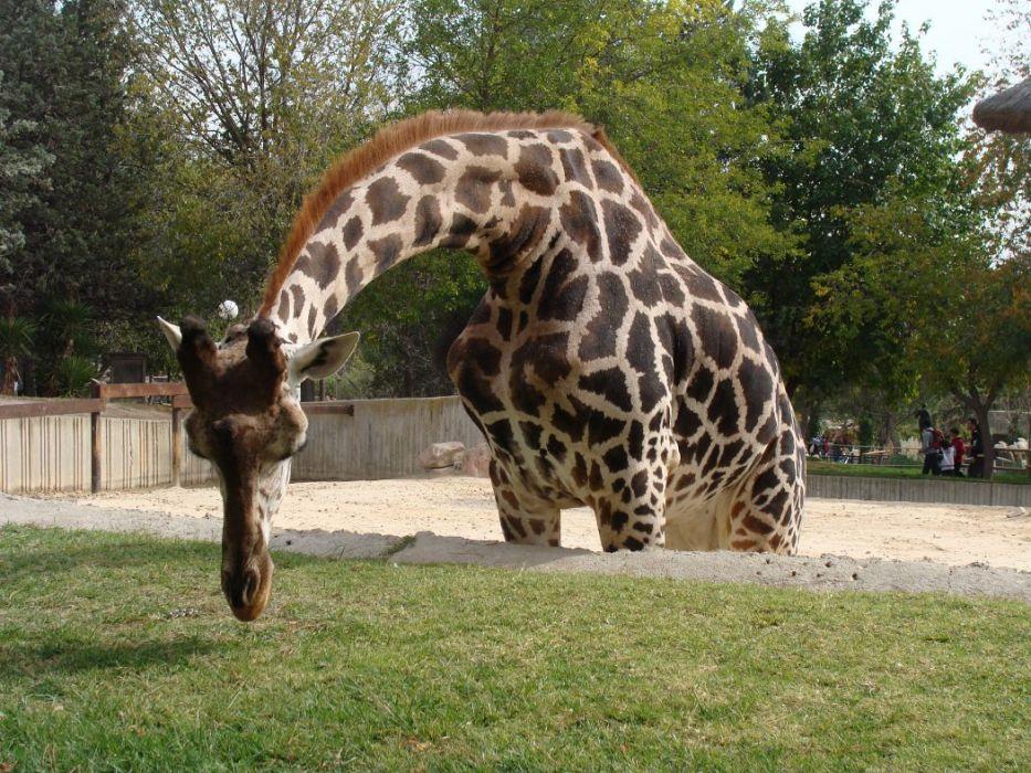 Giraff i Zoo Aquarium Madrid