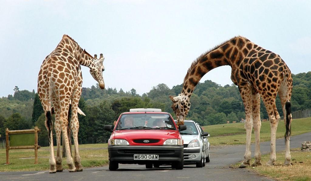 Två giraffer som lutar sig över en bil vid safari